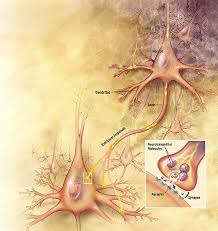 neurones et synapses