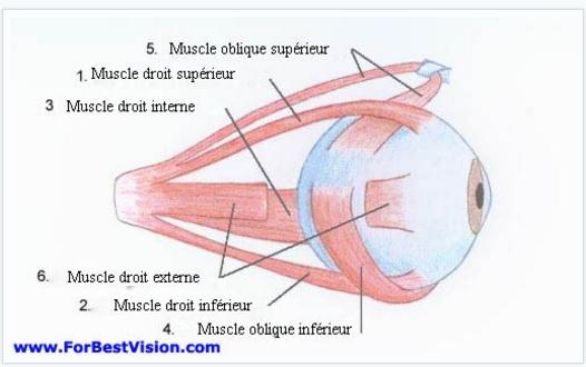 muscles-externes-des-yeux