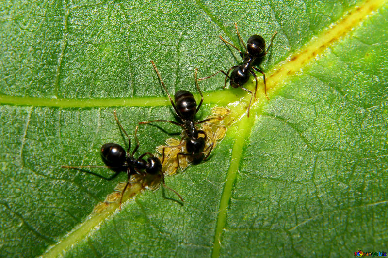 Free picture (Ants and aphids) from https://torange.biz/ants-aphids-33892
